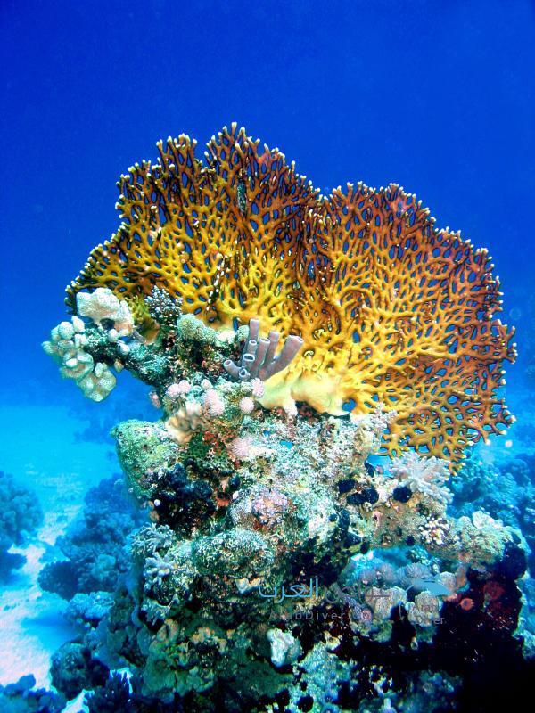 الشعاب-النـارية-Fire-Coral1