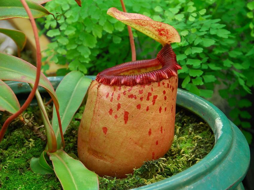 نبات القدر