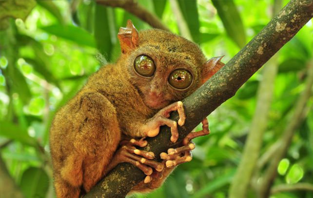 Tarsiers-have-a-body-covered-in-fur-that-can-be-ochre-brown-gold-or-grey-in-color.