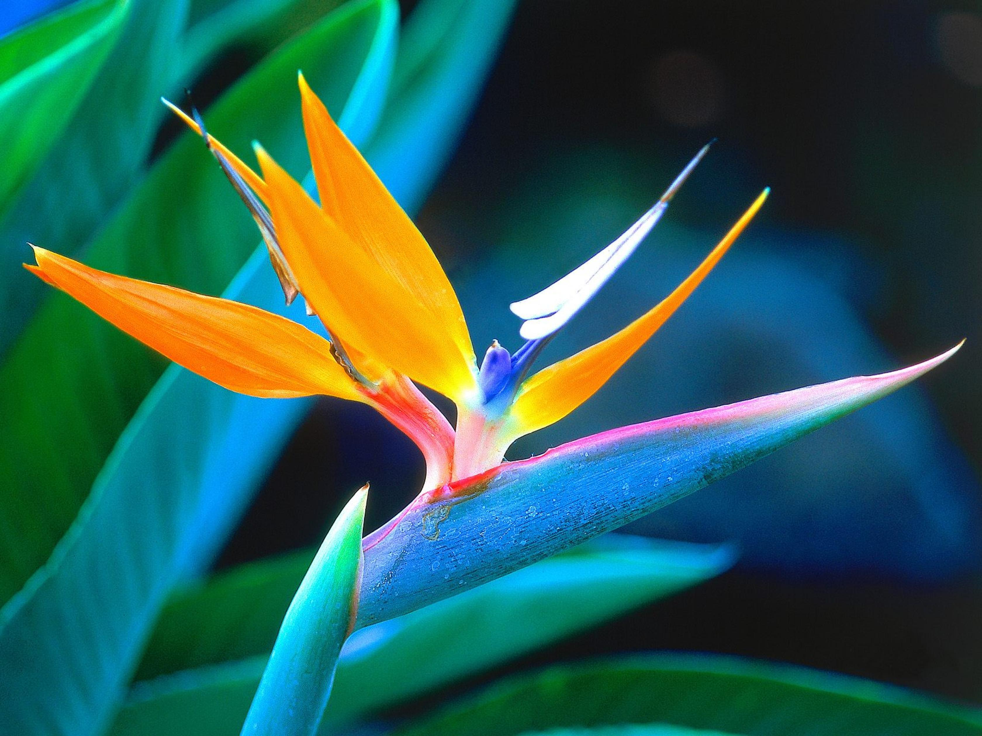 nature-flowers-south-africa-bird-of-paradise-strelitzia-crane-flower-wallpaper-1