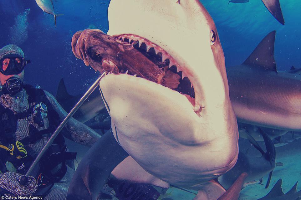 غواص يطعم سمكة قرش مفترسة بيديه في جزر الباهاما