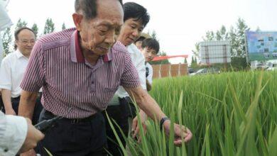 الأرز الهجين