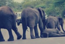 شاهد  قصة أول فيل يأخذ حقه بالمحكمة