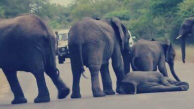 شاهد| قصة أول فيل يأخذ حقه بالمحكمة