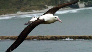 ◄ شاهد  ظاهرة غريبة! .. بيوض طائر النورس تغطي جزيرة خليجية