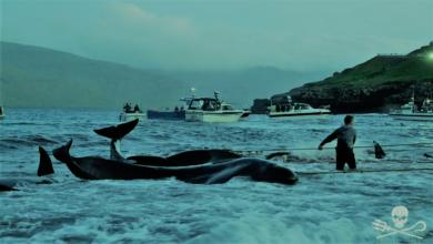 مشهد كارثي...مذبحة حيتان تحول لون البحر إلى الأحمر (لقطات صادمة)