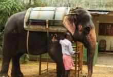 ◄ شاهد  لحظة مفجعة.. فيل يودع مدربه بعد وفاته بـ السرطان