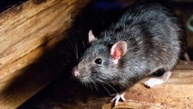 بالفيديو: فأر يثير الذعر بين النواب في جلسة البرلمان الأندلسي