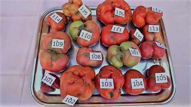 أبشع ثمرة طماطم