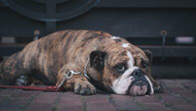 الكلب الكسول.. 10 أسباب تجعل كلبك ينام كثيرًا أكثر من المعتاد